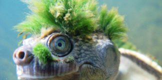 Tartaruga com visual punk é ameaçada de extinção