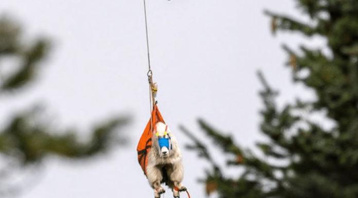 As cabras de um parque em Washington estão ficando violentas por causa do vício em urina (!)