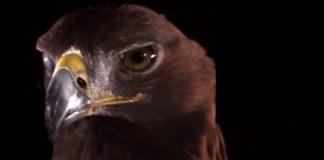 Um vídeo dedicado a você, que morre de medo de ser atacado por uma águia
