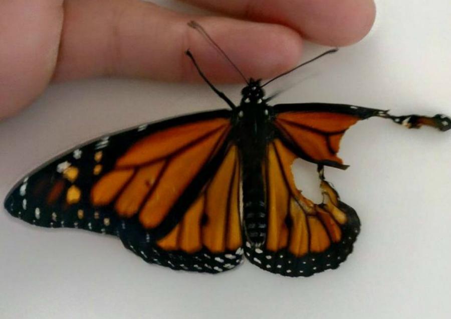 Uma estilista consertou a asa quebrada de uma borboleta