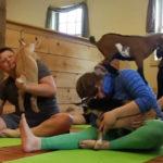 Goat Yoga: tem um pessoal usando bodes para ajudar na yoga