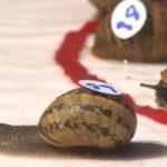 Teve isso: Campeonato Mundial de Corrida de Caracóis