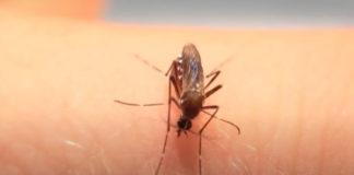 Mosquitos explodindo de tanto beber sangue
